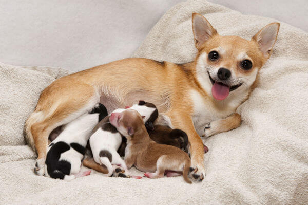 корм Acana для собак