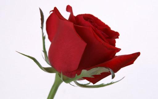купить розы Днепр