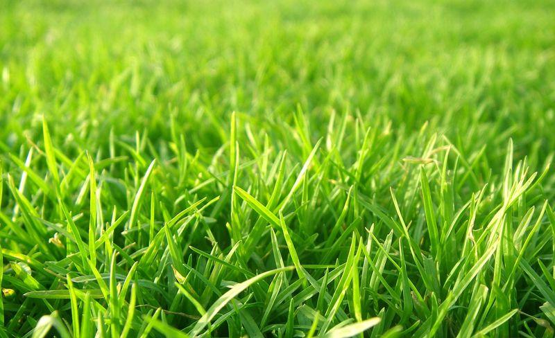 купить семена газонной травы